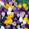 "Linea ""Promo"" - Crocus Large flowering mix"