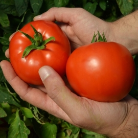 Tomate determinate cu fruct rotund - Red Morning F1