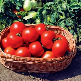 Tomate determinate cu fruct rotund - Sultan F1